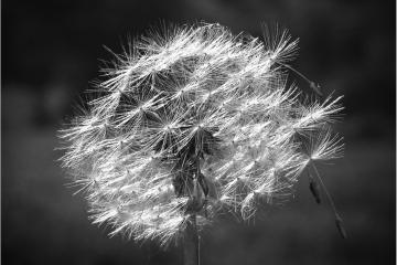 Paardenbloempluis © Wim Laureys