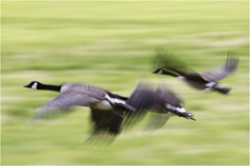 Gooses © Jorn Brewaeys