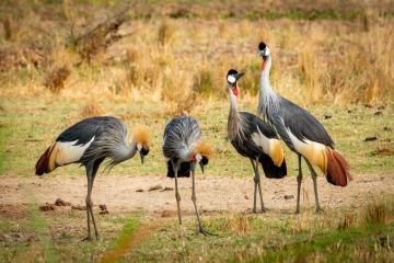 Pa, ma en de kids kroonkraanvogel © Eric Colpaert