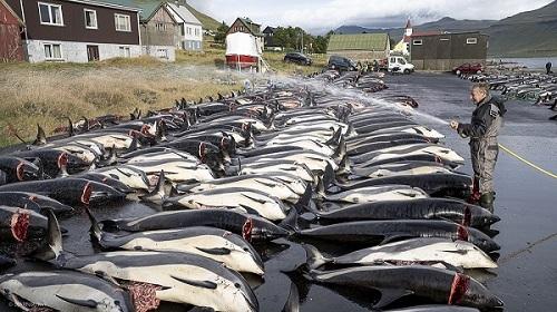 Delfiner bliver kølet ned efter slagtning. Foto: Bjarni Árting Rubeksen/KVF.