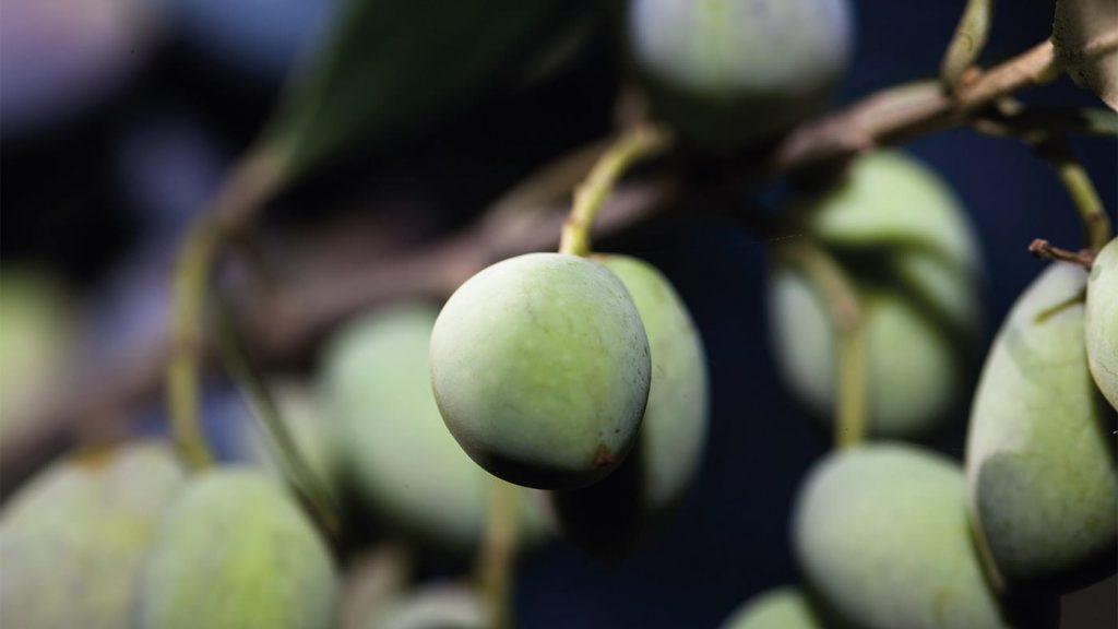 Oliven am Baum, Food Fellas