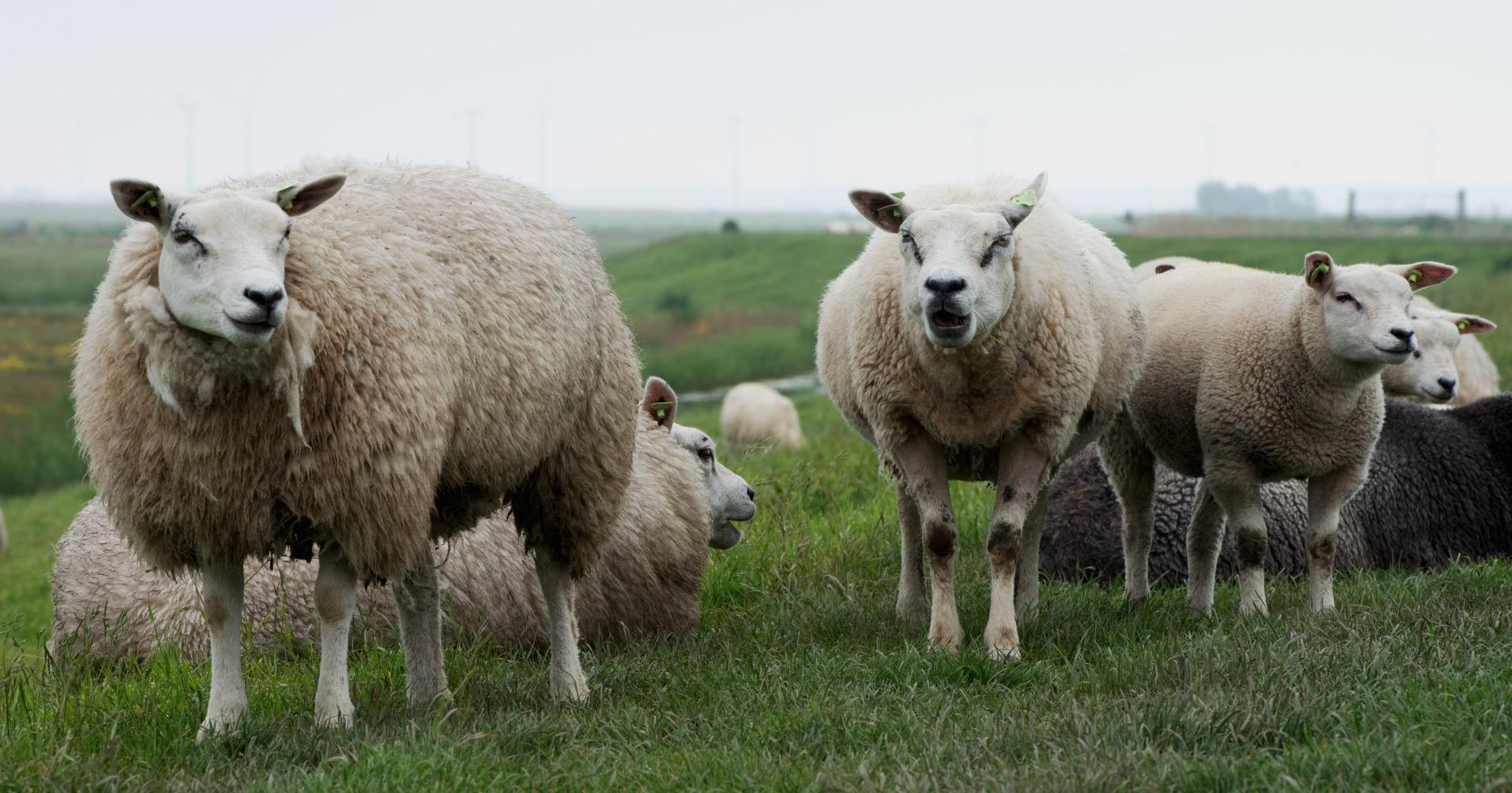 22-herbert-kwak-eemnessrer-schapen-a27039e82aa02511371304e7cf95a13810a03a08