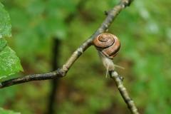 (c) Claudia Ballermann - Kleine Schnecke im Wald
