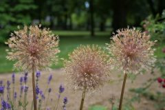 (c) Lutz Dürichen - Allium im Rosengarten von Forst
