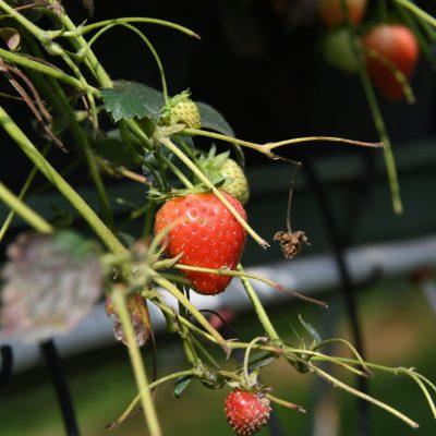 Hoogstraten = aardbeien Langs polpulaire smokkelpaadjes in Hoogstraten