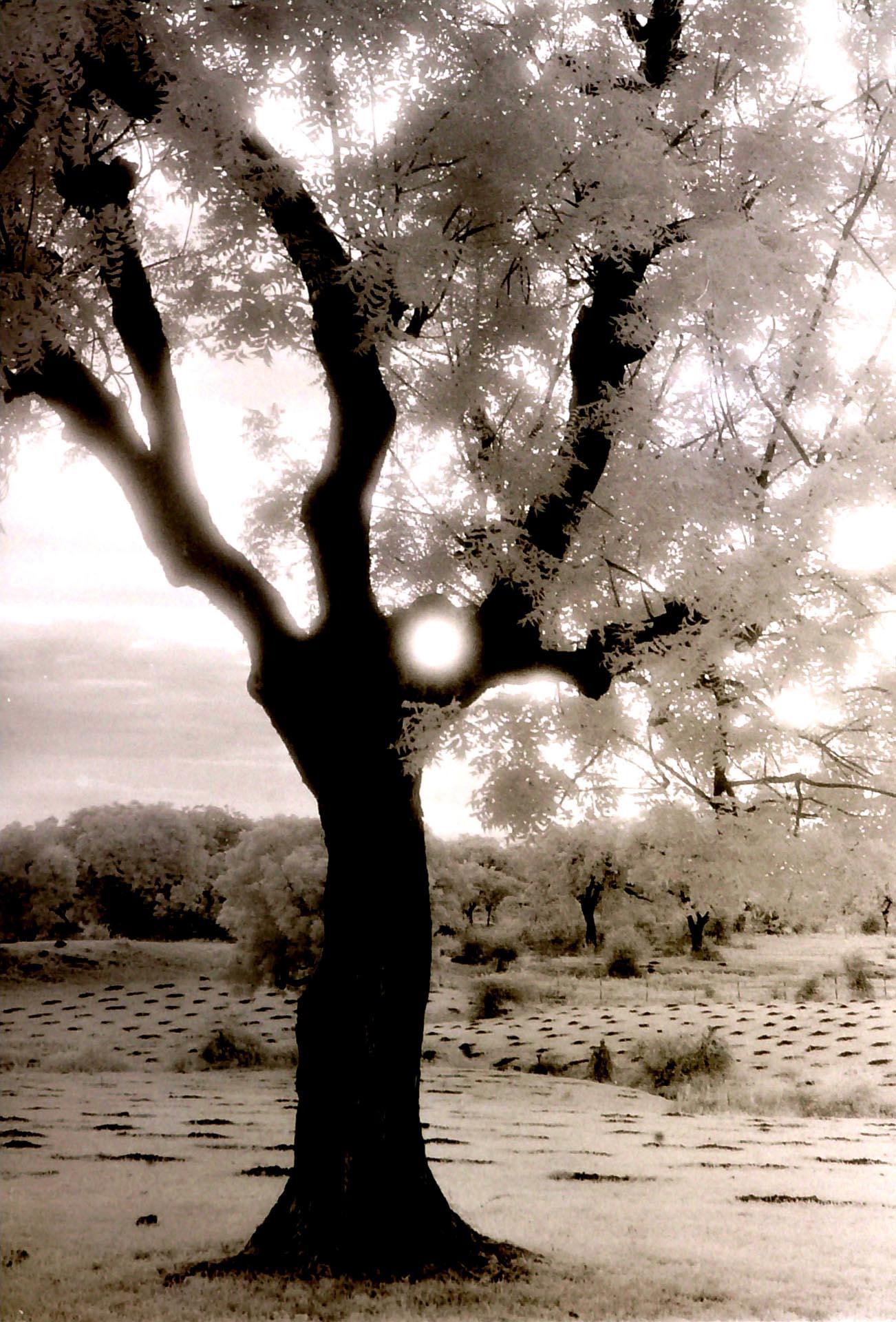 012-Tree-near-Mandawa,India