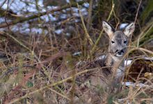 Photo of Salg af vildtkød fra Hindsgavl Dyrehave