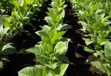 Photo of Vær med, når tobakken kommer i jorden