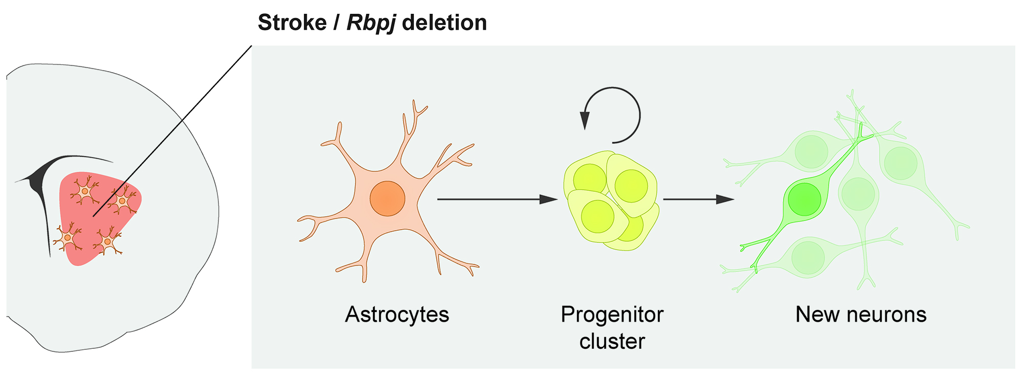Astrocytes as a source of new nerve cells