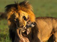 Att åka på Kenya safari är en dröm som många har. Den drömmen kan nu bli sann för dig!