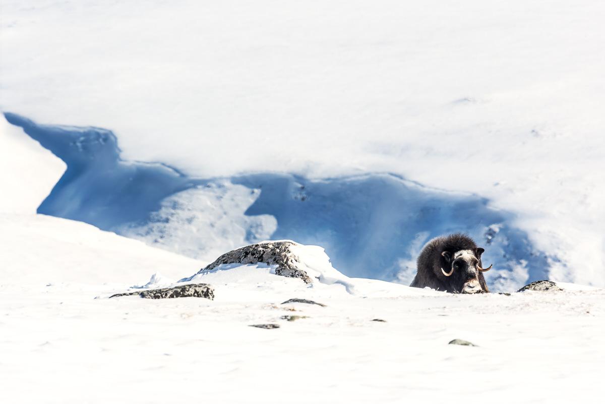 Myskoxe vid Salen, 1400 meter över havet.