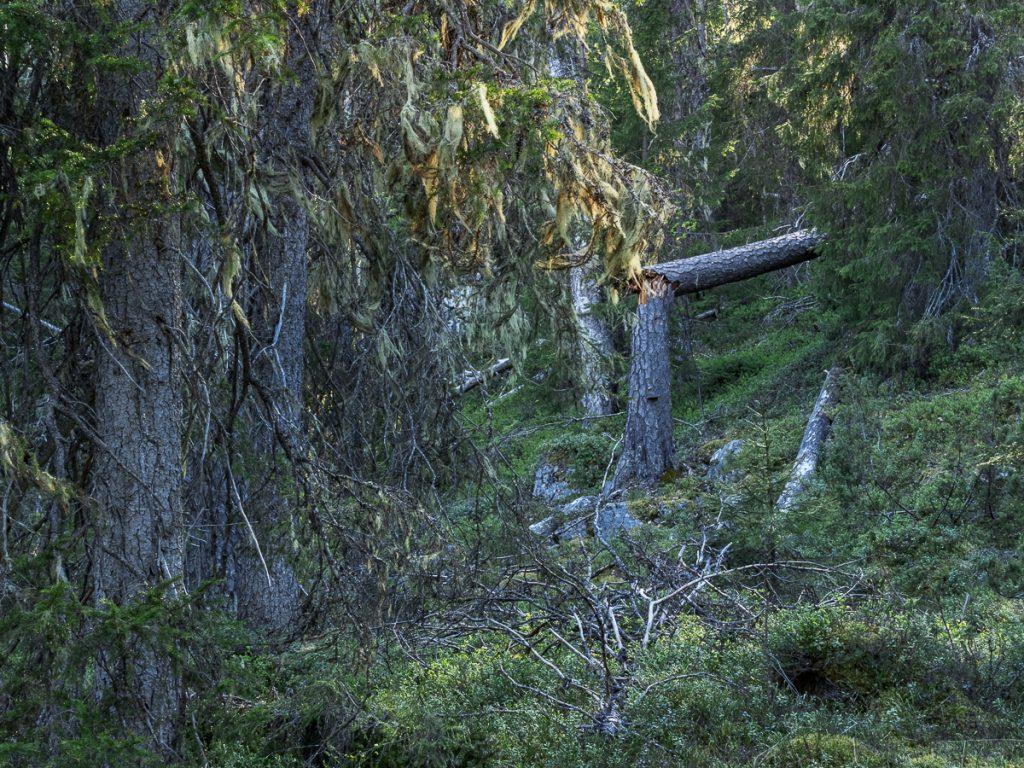 Gammelskog med skägglav, död ved och mossa.