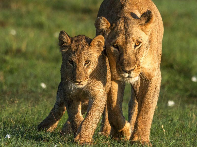 Lejon från Masai Mara i Kenya.