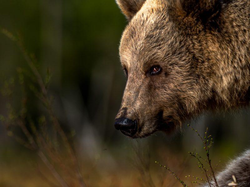 Finland brunbjörn.