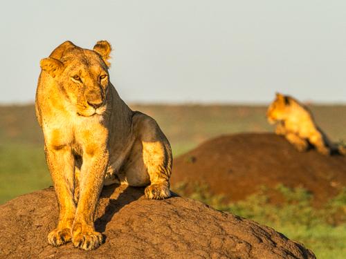 Lejon är ett populärt fotomotiv som naturfotografer drömmer om att fotografera.