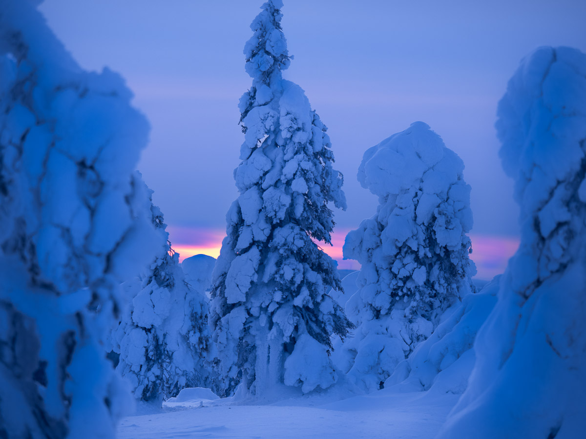 Tykkygranar i det sista ljuset före mörkret i Riisitunturi nationalpark.