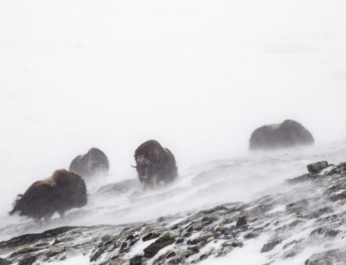 En sagolik upplevelse med myskoxarna i Dovrefjell.