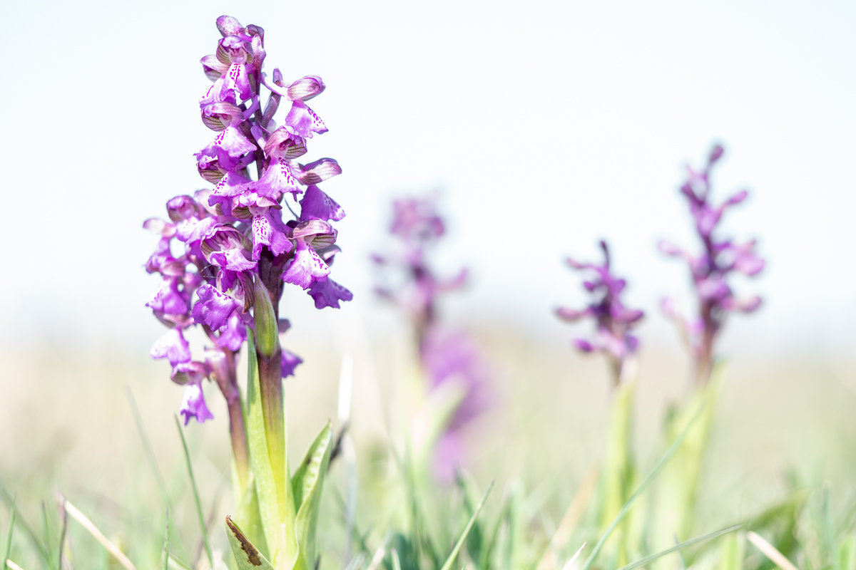 Ölands orkidéer, kulturarv och ekoxar.