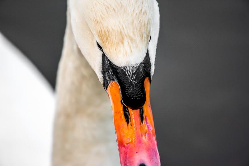 Närbild av svan, Rosenkällasjön.