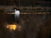 Svan i landskapet, Rosenkällasjön.