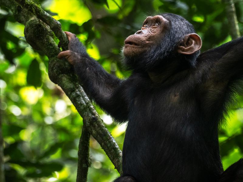 Ung schimpans, Kibale nationalpark, Uganda.
