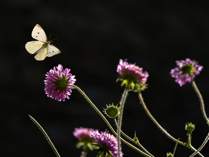Flygande fjäril high-key