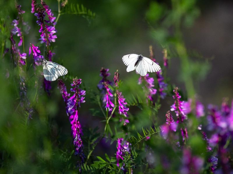 Hagtornsfjärilar_flyger_Italien