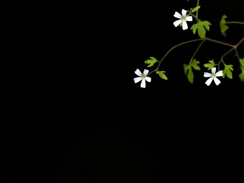 Vitablommar mot svart bakgrund