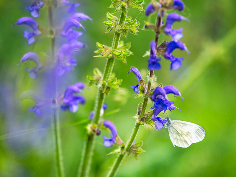 White_butterfly_Italy