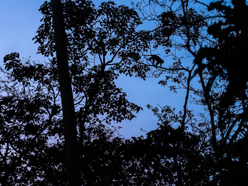 Colobus i träden, Uganda. Fröstad Naturfoto.