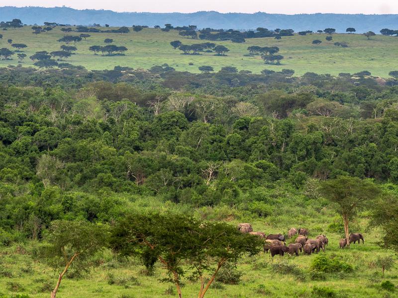 Elfanter i det stora landskapet. Fröstad Naturfoto. Uganda