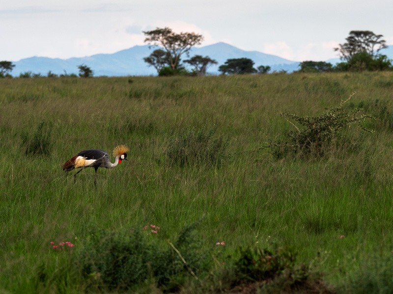 Grå krontrana, Uganda. Fröstad Naturfoto.