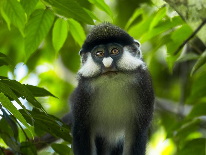 Red tailed colobus monkey, Uganda. Fröstad Naturfoto.