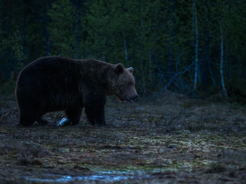 Björnen kommer i den sena timmen. Finland.