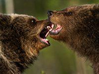 Björnungar busar. Finland.