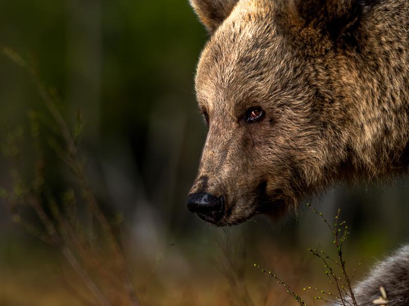 En stor björnhane. Finland.