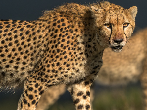Gepard ögonkontakt och en annan gepard i bakgrunden.