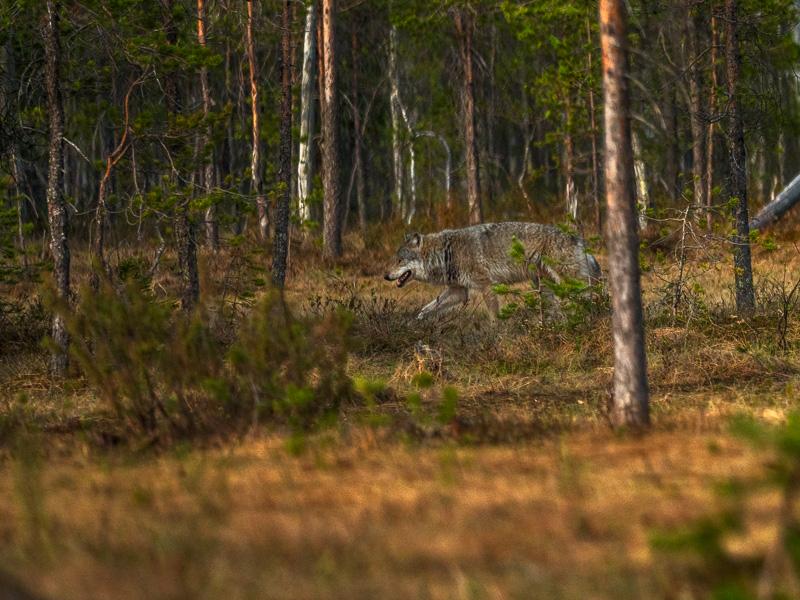 Varg. Finland