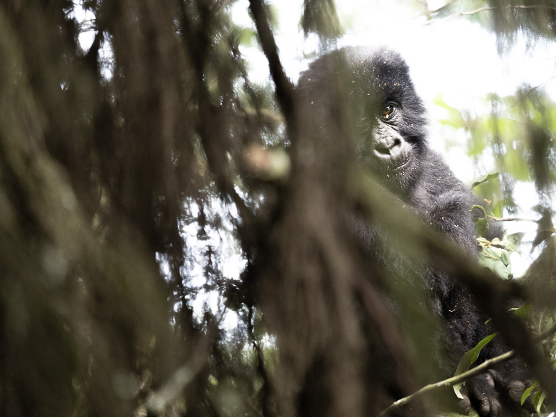 Mountain gorilla Youngster in Uganda rainforest.