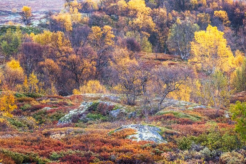 Höstfärger i Rondane & Dovrefjell.
