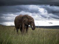 Elefant med tunga regnmoln vid horisonten.