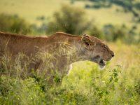 Lejonhona på savannen omringad av knott.