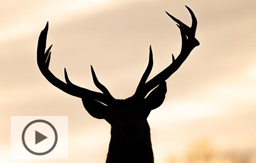 Naturvideo_kronhjortar_dovhjortar