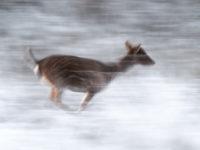 Dovhjort springer i frost.