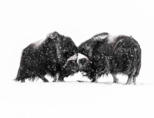 Nya platser till fotografering av isjättarna i Dovrefjells bergskedja.