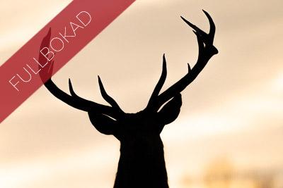 Fullbokad_kronhjort_2020