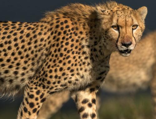 Nya platser till magiska Masai Mara!