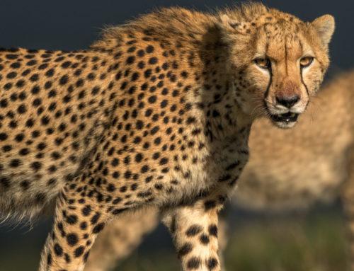 Den graciösa geparden.