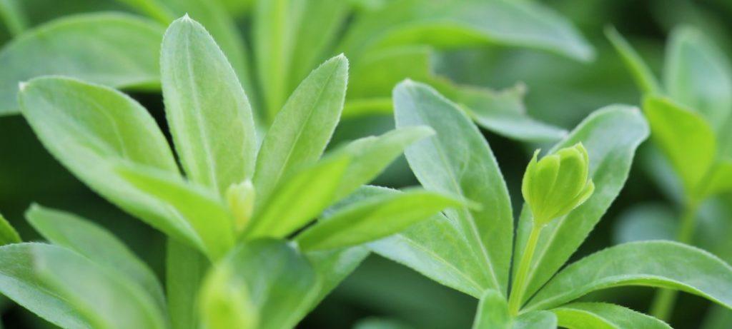 galium odoratum macro