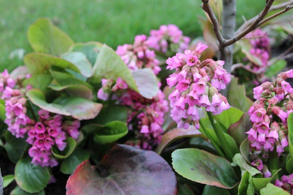 Bergenia med fine blomster og god som bunndekker
